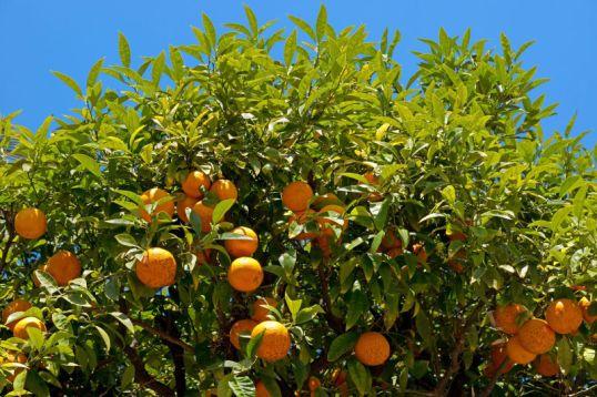 citrus-farm